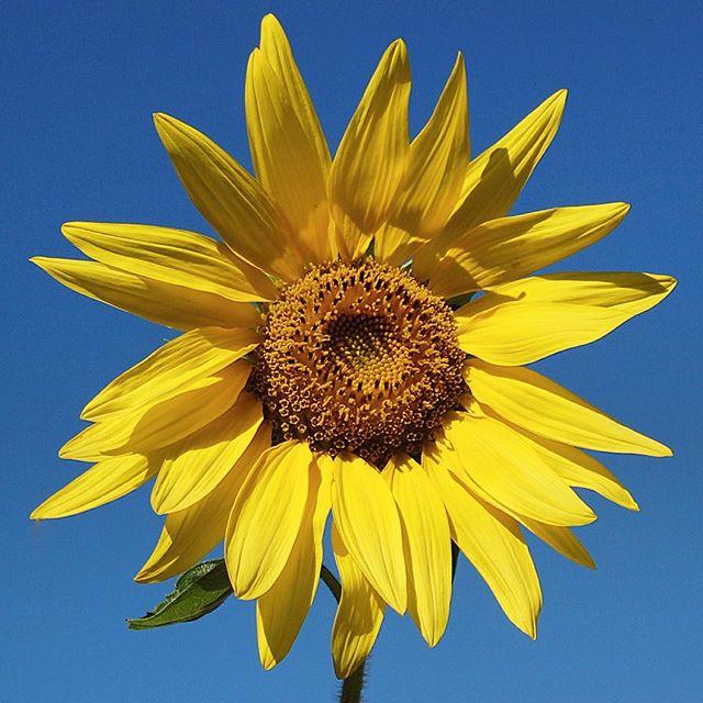 夏!・天王町駅前のひまわりが綺麗に咲いています・#ひまわり #向日葵 #花 #夏 #横浜 #相鉄線 #天王町 #sunflower #flower #summer #yokohama #9months